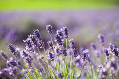 Lavender in the field Stock Photo