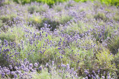 Lavender in the field Royalty Free Stock Photo