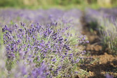 Lavender in the field Stock Photos