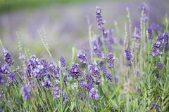 Lavender in the field Stock Image