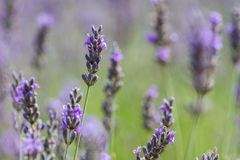 Lavender field close up Stock Images