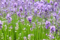 Lavender field close up by the light of the sun stock photography