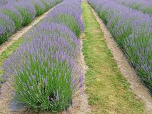 Lavender field close up natural landscape. Background Stock Photo