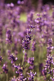 Lavender in a field Royalty Free Stock Photography