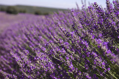 Lavender field close up Royalty Free Stock Images