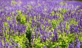 Lavender field. Closeup of lavender flowers blooming Royalty Free Stock Photography