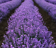 Lavender Field closeup Stock Photography