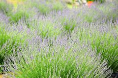 Lavender field. Closeup view of a field full of growing lavender stock image