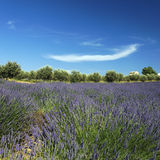 Lavender field and cloud Royalty Free Stock Images