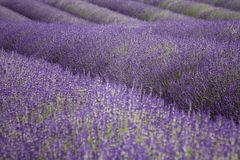 Lavender field in the Cotswold Stock Photography