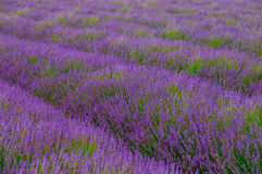 Lavender field. Cotswold , England, United kingdom Royalty Free Stock Photography
