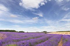 Lavender field in the Cotswolds. With blue sky and whispy clouds Stock Image