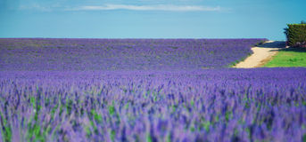 Lavender field. Country road near Lavender field. The plateau of Valensole in Provence Royalty Free Stock Images