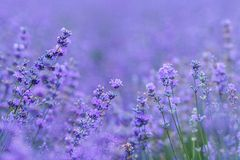 Lavender field in the Crimea Royalty Free Stock Image