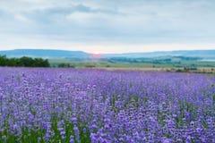 Lavender field in the Crimea. Crimean Provence. Stock Image