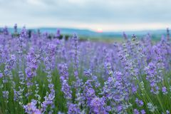 Lavender field in the Crimea. Crimean Provence. Royalty Free Stock Photos