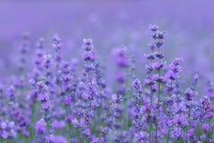 Lavender field in the Crimea. Crimean Provence. Stock Photo