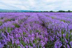 Lavender field in the Crimea. Crimean Provence. Stock Images