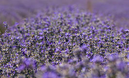 Lavender field in daylight Stock Images