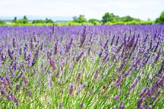 Lavender Field during Daytime Stock Photography