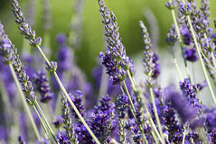 Lavender field. Detail photo of Lavender field Stock Photography