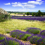 Lavender field. Stock Images