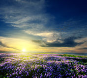 Lavender field at the end of the day Royalty Free Stock Photos