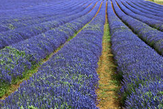 Lavender Field in England. Field of Lavender growing in East Anglia England Stock Photography