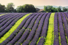 Lavender field in the evening Royalty Free Stock Photo