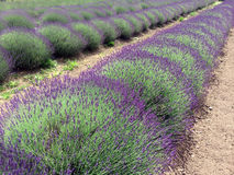 Lavender Field and Farm Stock Photos