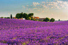 Lavender field and farm in Provence. Lavender field with a farm and trees in the French Provence. Colorful picture of lavender flowers in the gentle pink light Royalty Free Stock Image