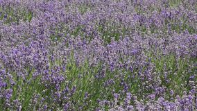 Lavender field stock video footage