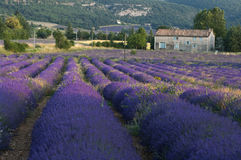 Lavender field farmhouse Stock Image