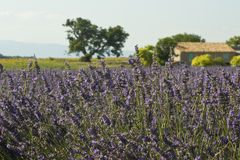 Lavender field,farmhouse. Provence Royalty Free Stock Photos