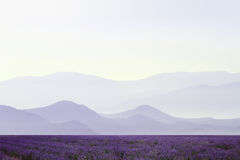Lavender field. S with distant mountains Stock Images
