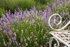 Lavender Field Flower Background Stock Images