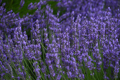 Lavender field Stock Photos