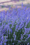Lavender field. Lavender flowers on a beautiful meadow Stock Image