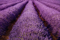 Lavender field flowers endless rows texture. Provence, France Royalty Free Stock Photos