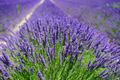 Lavender Field, Flowers, Purple Stock Photos