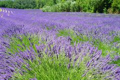 Lavender Field, Flowers, Purple Stock Image