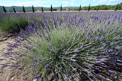 Lavender field France Royalty Free Stock Photography
