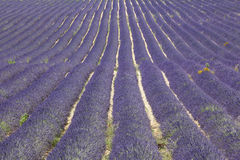 Lavender field in France Royalty Free Stock Photos