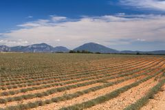 Lavender field in France. Green non blooming bushes of lavender in Provence France Royalty Free Stock Photography