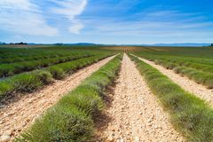 Lavender field in France. Green non blooming bushes of lavender in Provence France Stock Photos