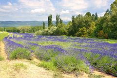 Lavender field in France Stock Images