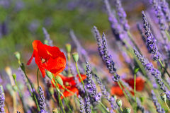 Lavender field in France with red poppies Stock Photos