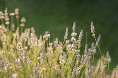 Field of fresh lavender lilac in the sun on a green blurred bokeh background. Banner. Copy space royalty free stock image