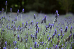 Lavender in a field Royalty Free Stock Photos