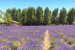Lavender field in Furano, Hokkaido with some tourists walking by in the background Royalty Free Stock Images